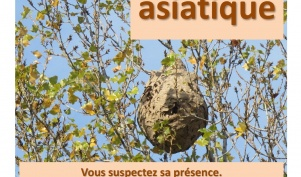 vigilance : frelon asiatique